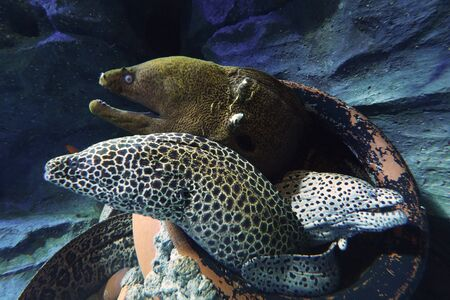 Moray eels inside cracked pot Stock Photo