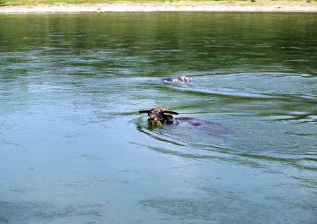 water grass: water buffalo eating water grass while swimming Stock Photo