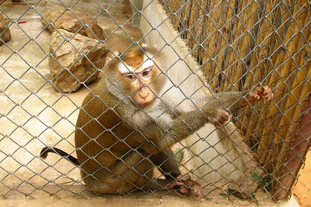 Monkey in the cage Stock Photo
