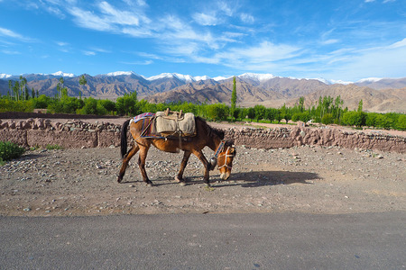 Pack Horses caravan in Leh Ladakh Archivio Fotografico