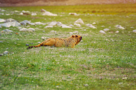 Marmot in a field at the front of his cave near road to the pangong Lake. Foto de archivo