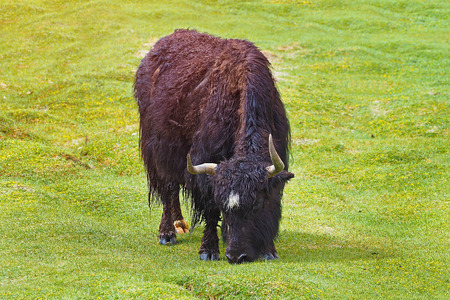 Long horn Yak eating on green field, Leh Ladakh India with copy space