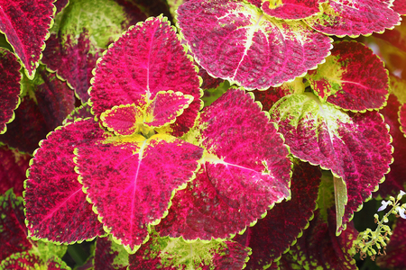 close up photo of a red leaf Coleus plant with green edges with text copy space Stock Photo