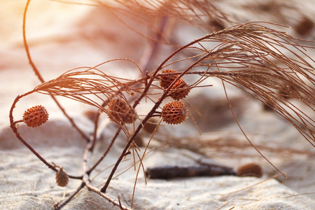 small sea pine cone with branches on white beach sand Stock Photo