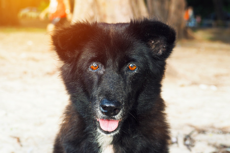 Cute black local Thai Dog look-alike bear sit on the beach looking at camera