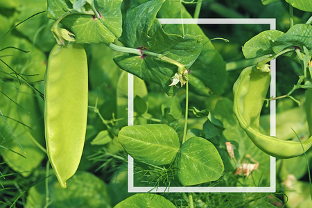 sugar pea grow inside garden with copy space and white frame border in leaf overlap style Foto de archivo