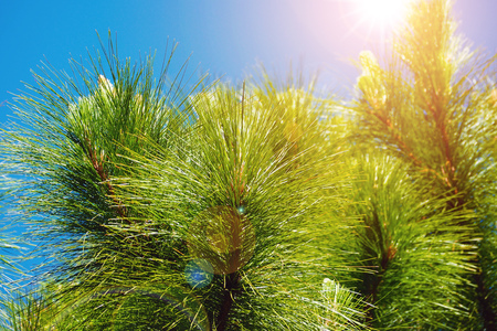 green pine leaf on blue sky with sun light ray lens flare