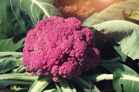 single Purple Cauliflower grow in the garden farm Фото со стока