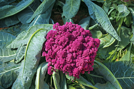 single Purple Cauliflower grow in the garden farm Foto de archivo