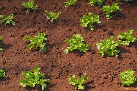 green oak salad vegetables grow on the ground inside farm Foto de archivo