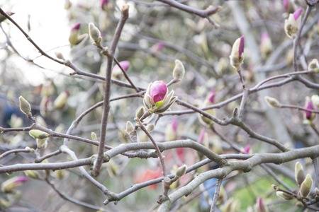not yet blossoming pink buds of magnolia spring. Spring tree flowering - Magnolia flower
