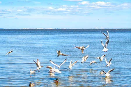 A view of group of black-headed gull (Chroicocephalus ridibundus) in the sea and beach in Saint Petersburg, Russia.