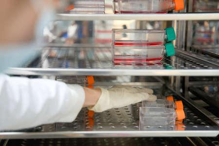 Die Forscherin öffnet und nimmt den Zellkulturkolben im Inkubatorschrank auf. Zellkultur bezieht sich auf die Entfernung von Zellen aus einem Tier oder einer Pflanze und deren anschließendes Wachstum in einer günstigen künstlichen Umgebung. Standard-Bild