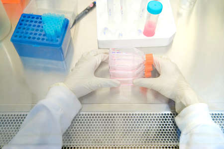 The woman researcher working with cell culture flask for monolayers cells in the culture medium in biosafety cabinet.