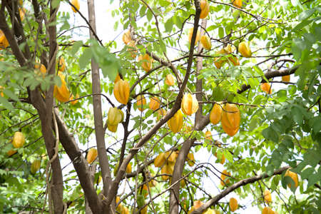A fresh of star apple on the tree. Thai fruit.
