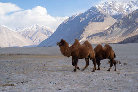 A group of a camel walking on a sand dune in Hunder, Hunder is a village in the Leh district of Jammu and Kashmir, India.