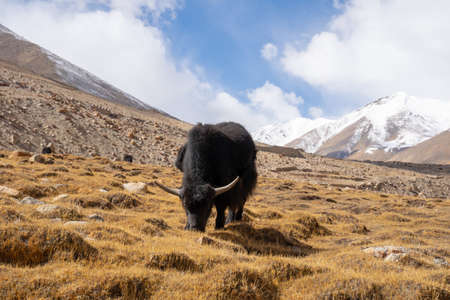 A view of yak is eating in the field in the mountain in Ladakh, India. Stock fotó