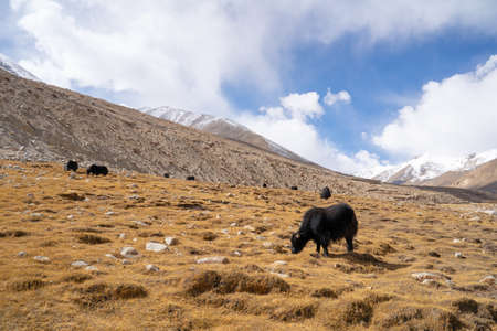 A view of a group of yak is eating in the field with the snow mountain in Ladakh, India.