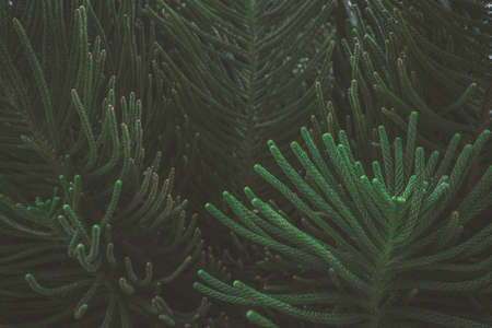 The abstract nature dark green background tropical leaves, the leaf of a pine tree. Imagens