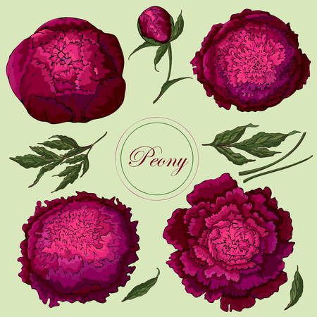 Vector peonies. Set of isolated burgundy flowers on a light green background. Template for floral decoration, fabric design, packaging or clothing.