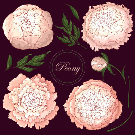 Vector peonies. Set of isolated light pink flowers on burgundy background. Template for floral decoration, fabric design, packaging or clothing.