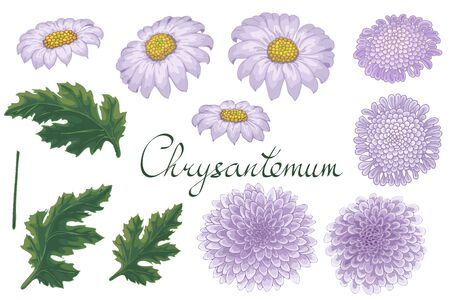 Vector floral illustration with violet chrysanthemum. Isolated elements on a white background. Purple golden-daisy for your floral design