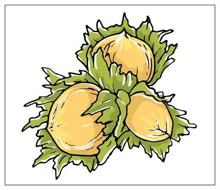 Vector illustration with Hazelnut. Isolated object on a white background. Multicolored hand drawn illustration.