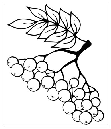 Rowan branch with leaf and berries vector illustration isolated on white background. Rowanberry autumn design. Outline style