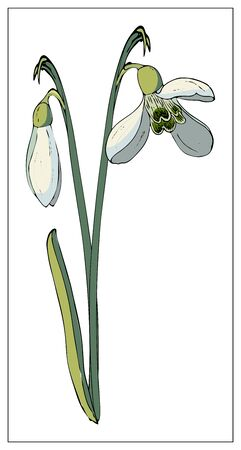 Vector isolated snowdrop on white background. Different elements for floral spring season design. Bouquet of snowdrops. Vector stock illustration. Isolated on a white