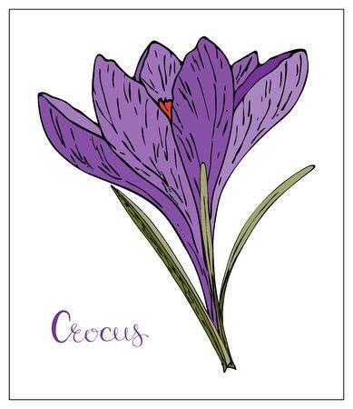 Vector floral illustration with violet crocus flower. Isolated elements on a white background. Delicate saffron flower for your floral design. Vector stock illustration Ilustração