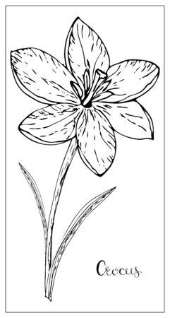 Ilustracja wektorowa kwiatowy z sylwetką kwiatów krokusa. Pojedyncze elementy na białym tle. Delikatny kwiatek do kwiatowy wzór. Ilustracja wektorowa