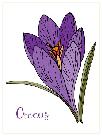 Vector floral illustration with violet crocus flower. Isolated elements on a white background. Delicate saffron flower for your floral design. Vector stock illustration Illustration