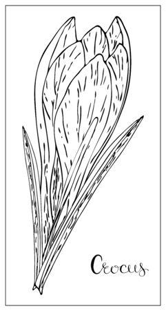 Illustration florale vectorielle avec une silhouette de fleurs de crocus. Éléments isolés sur fond blanc. Fleur délicate pour votre design floral. Illustration vectorielle Vecteurs