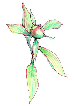 Vector hand painted and hand drawn vintage botanical watercolor outline bud of pink peony flower on white background.
