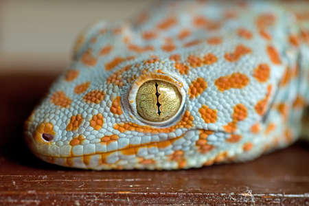 Tokay Gecko (Gekko gecko) lizard head and slip pupil eye and orange dotted white, scaly skin. Stock Photo - 14629410