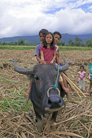 Maao, Negros Oriental, Philippine Islands - 1/7/2012 - Three young Filipino siblings, one girl and two boys, ride across a sugarcane field on the back of a water buffalo (carabao) in the Philippine Islands. This is a common mode of transportation in rural Stock Photo - 14612367
