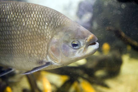 Close up of a freshwater Tambaquifish, Colossoma macropomum, showing silver scales, gills, eye, nostril and open mouth  The fish is swimming in an aquarium  Stock Photo - 16442647