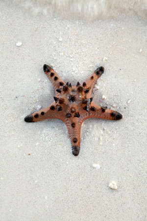 The Knobby Sea Star, Protoreaster nodosus, comes in a wide variety of shapes, colors and sizes and is common throught Asia and Southeast Asia  Stock Photo - 19145370