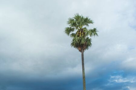 toddy palm tree on sky background Stock Photo