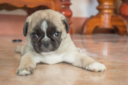 puppy Pug dog sleep on the floor by color filter Stock Photo