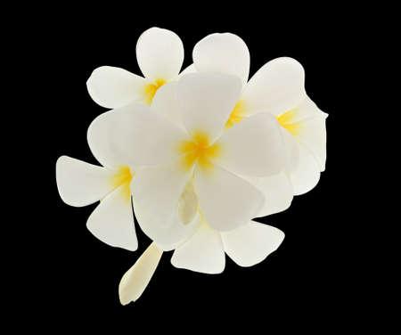 fondos negros: flor de frangipani aislado en fondo negro Foto de archivo