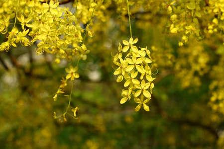 Yellow flower of Golden shower Фото со стока