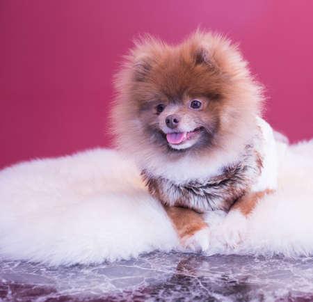 laying Pup Reklamní fotografie