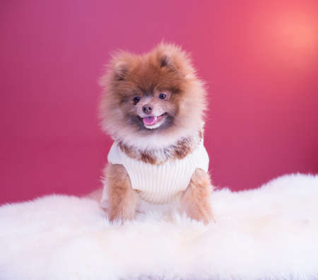 pup: Pomeranian pup smile Stock Photo