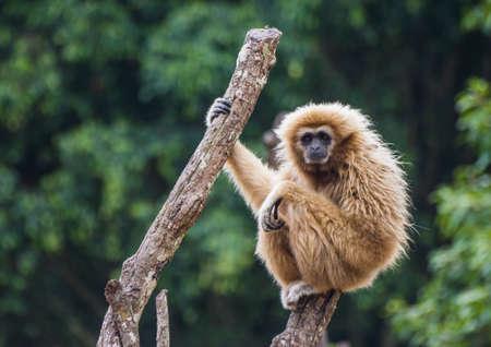 Gibbon photo