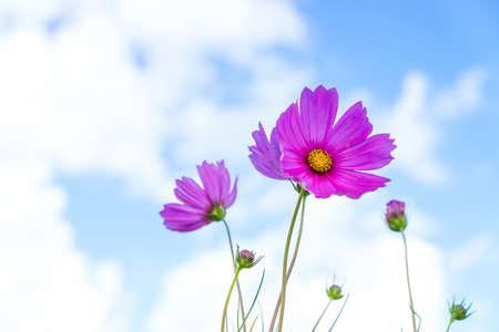 asteraceae: Cosmos flower sky