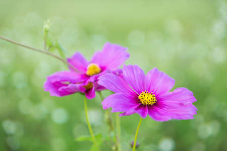 asteraceae: Pink cosmos flower