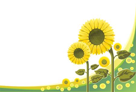 The Flowering sunflower grows under sun on white background.