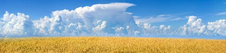 The Hot year day. The Panorama of the field with mature wheat.