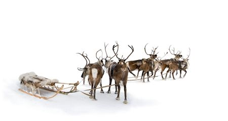 Eight reindeers stand to harnesses in winter. Stock Photo